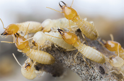 The Trouble With Termites & What to Do When They Are Invading Your Space